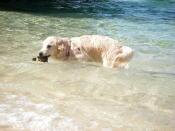 海で泳いでいるゴールデンレトリーバー