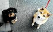 お座りしているミックス犬と柴犬