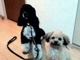 ミックス犬のココ君とボビー君