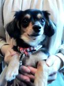 飼い主さんに抱っこされているミックス犬のモカちゃん