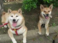 カメラ目線の柴犬とミックス犬