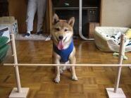 ジャンプ台の前でお座りしている柴犬