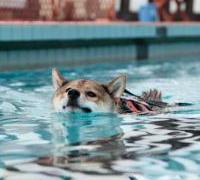 プールで泳いでいる柴犬