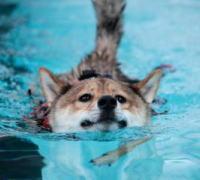 正面から見たプールで泳いでいる柴犬