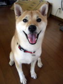 笑顔でお座りしている柴犬のゆずちゃん