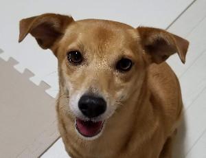 スタッフ犬ミミ